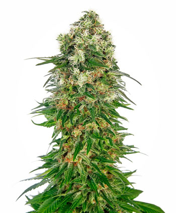 shiva-skunk-automatic-photo.jpg