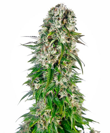 big-bud-automatic-photo.jpg