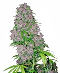 purple-bud