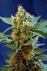 CREAM MANDARINE XL