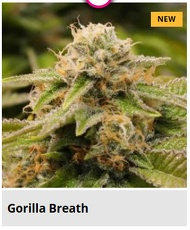 gorilla breath