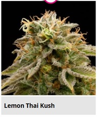 lemon thai kush