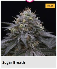 sugar breath