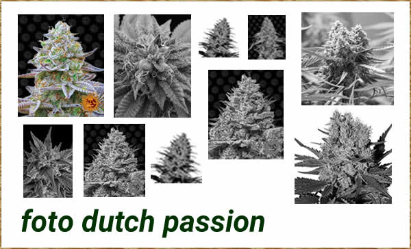 foto dutch passion seeds